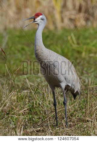 Sandhill Crane Calling On Its Territory - Florida
