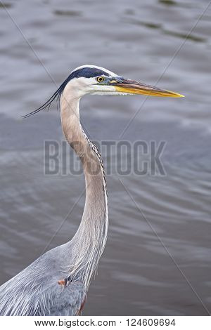 The great blue heron is a tall wading bird that inhabits much of north and central America.