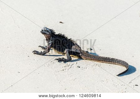 Marine iguana crouched on white sandy beach