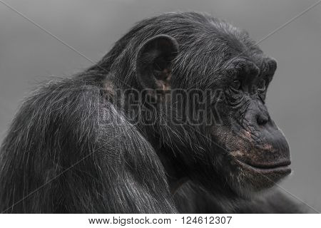 Thinking Chimpanzee Portrait Close Up