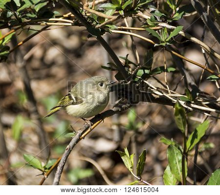 A female Ruby Crowned Kinglet (Regulus calendula) perched on a vine.