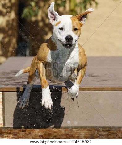 Happy pitbull jumping off a dock into the swimming pool