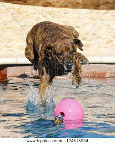 Brindle dog jumping into the pool for her pink toy