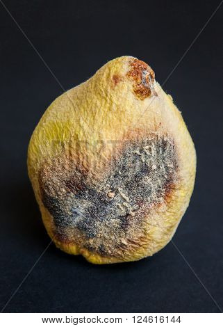 moldy, rotten quince on a black background