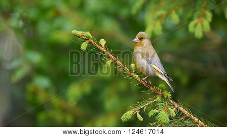Beautiful european greenfinch photographed in spring while it is perched on a fir tree branch