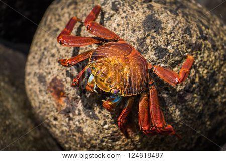 Sally Lightfoot crab on mottled brown rock