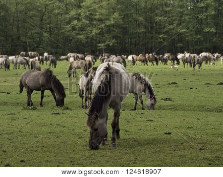 many wild horses in the german muensterland
