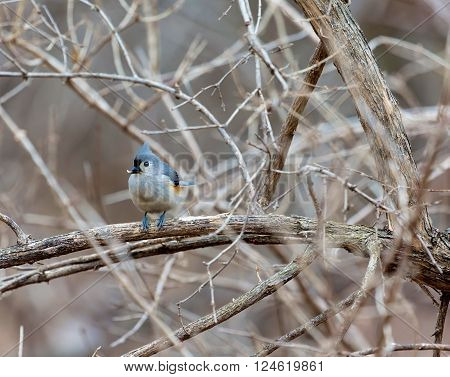 A little gray bird with an echoing voice, the Tufted Titmouse is common in eastern deciduous forests and a frequent visitor to feeders. It has large black eyes, small, round bill, and brushy crest.