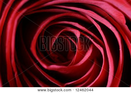 red rose macro close up bloom beautiful