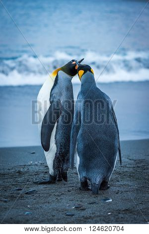 Two king penguins touching beaks on beach