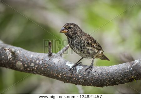 Vegetarian finch perched on thick tree branch