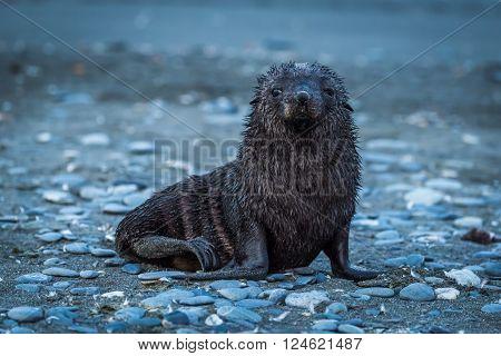 Wet Antarctic fur seal on shingle beach