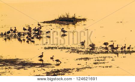Specie Alopochen aegyptiaca family of anatidae, egyptian gooses in the riverbank on sunset