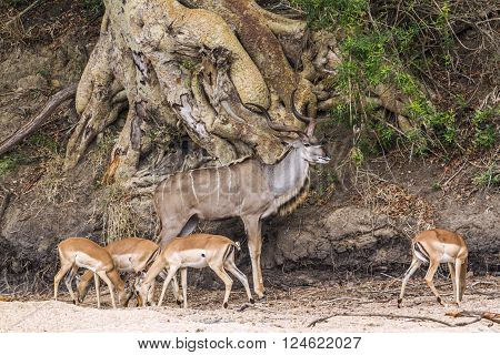 Specie Tragelaphus strepsiceros family of bovidae, greater kudu and group of impalas in the bush