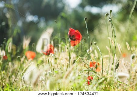 Wild Red Poppy Flowers In A Forest Meadow.