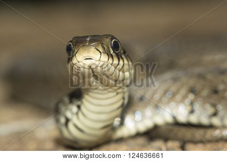 Close up of grass snake Natrix natrix