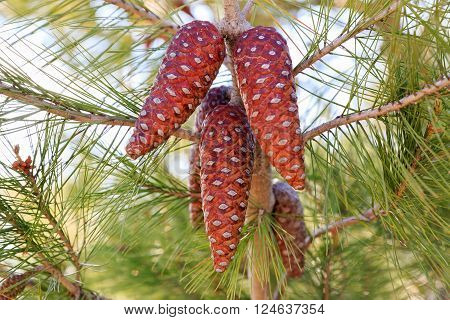 Red Pinecone Of Mediterranean Pine