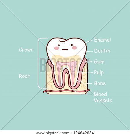 cartoon tooth anatomy chart great for dental care and teeth whitening and bleaching concept