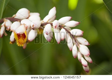 Flowers Of Alpinia