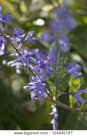 Petrea Volubilis Flowers
