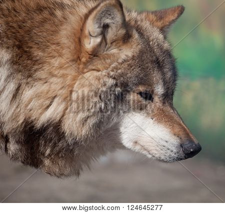 Portrait of Grey Wolf (Canis lupus) looking