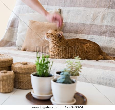 Man's hand petting a big lazy ginger cat laying on a sofa in a living room, cozy home interior