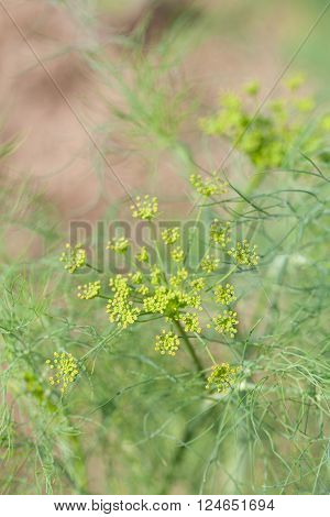 Close-up of a dill flower with seeds
