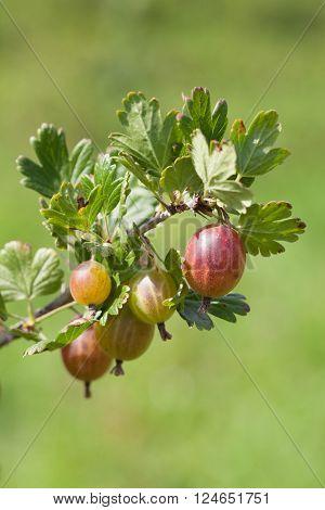 Organic gooseberry on a bush. Shallow dof
