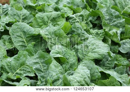 Green Lettuce Vegetable Of Hydroponic Cultivation