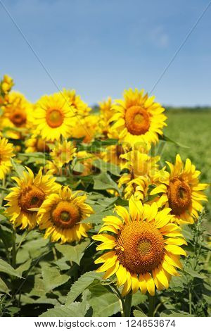 Group of Sunflowers with nice blue sky ** Note: Shallow depth of field