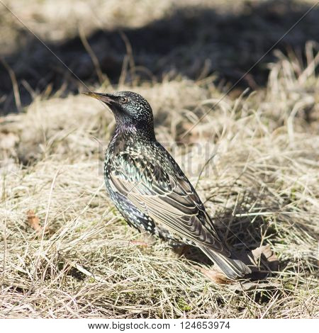 Common starling sturnus vulgaris sitting in dry grass selective focus shallow DOF