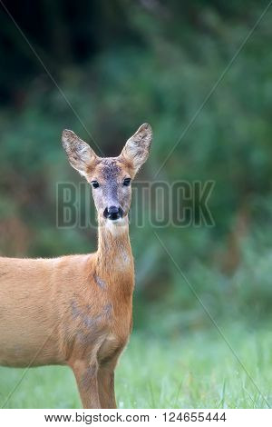 Roe-deer in the forest, a portrait in the wild