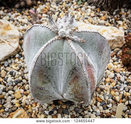 Detail of Astrophytum myriostigma cactus. Gardening theme. Beauty in nature.