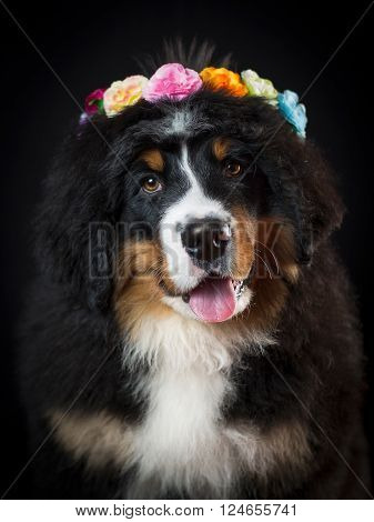Bernese mountain dog portrait with wreath of flowers in her head