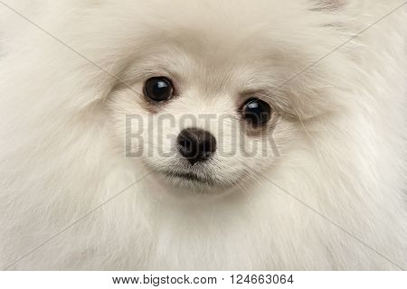 Closeup Furry Cute White Pomeranian Spitz Dog Curious Looking in Camera isolated in Front view
