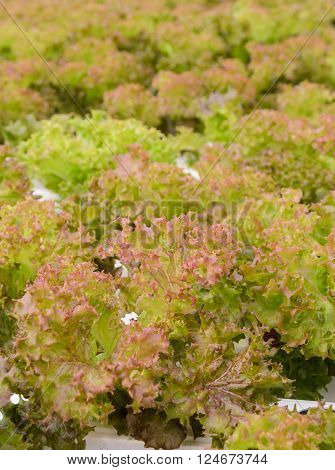 Hydroponic red coral leaf lettuce vegetables plantation in aquaponics system