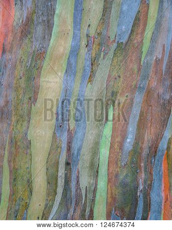 Tree bark texture background of Eucalyptus deglupta
