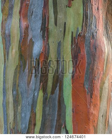 Colorful Eucalyptus deglupta tree bark texture background