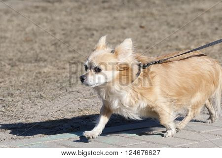 the small doggie walks on a lead in clear summer day