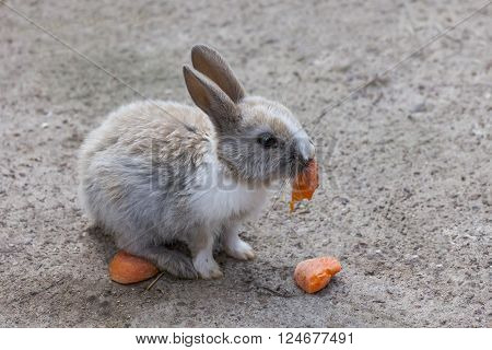 Cottontail bunny rabbit eating carrot  in the garden