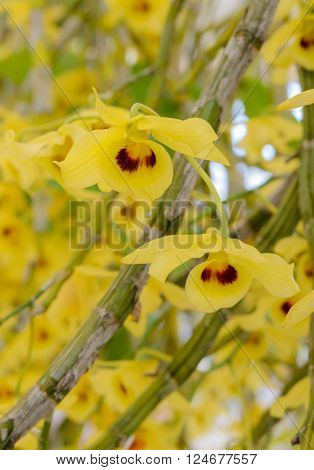 Yellow Dendrobium orchid  flower in full bloom