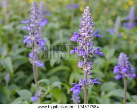 Blue Salvia farinacea or mealycup sage flower in the garden