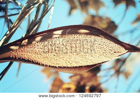 Date palm with blossom flowers close up