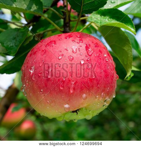 Ripe red apple on the branch with dew drops