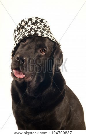 Black labrador retreiver portrait in sludio looking at camera