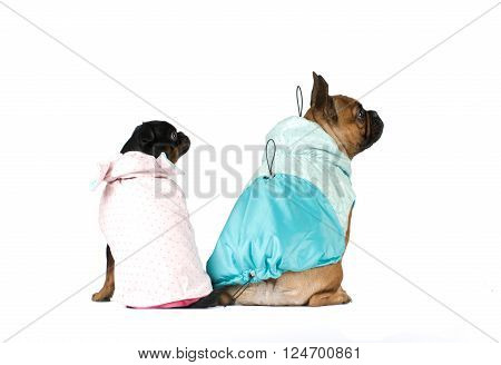 French bulldog and pti brabanson studio portrait in clothes isolated on white