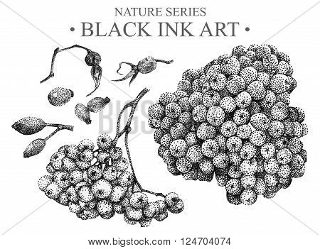 Illustration with rowan and briar drawn by hand with black ink. Graphic drawing, pointillism technique