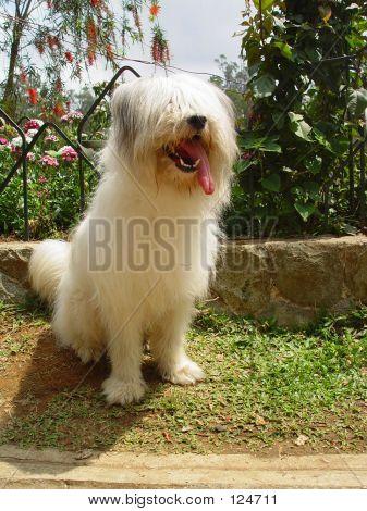 Baguio Dog 4