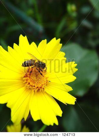 Sun Flower Bee 2