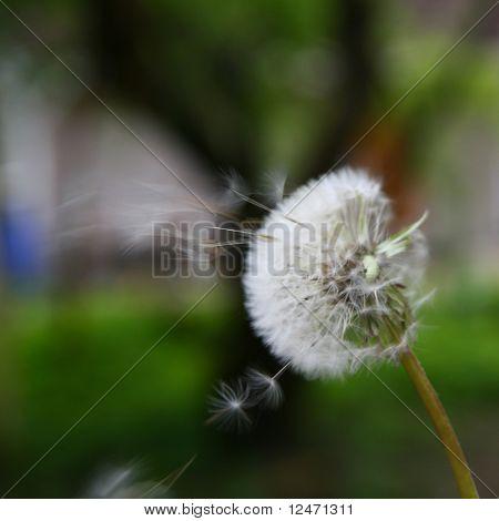 spring wish dandelion